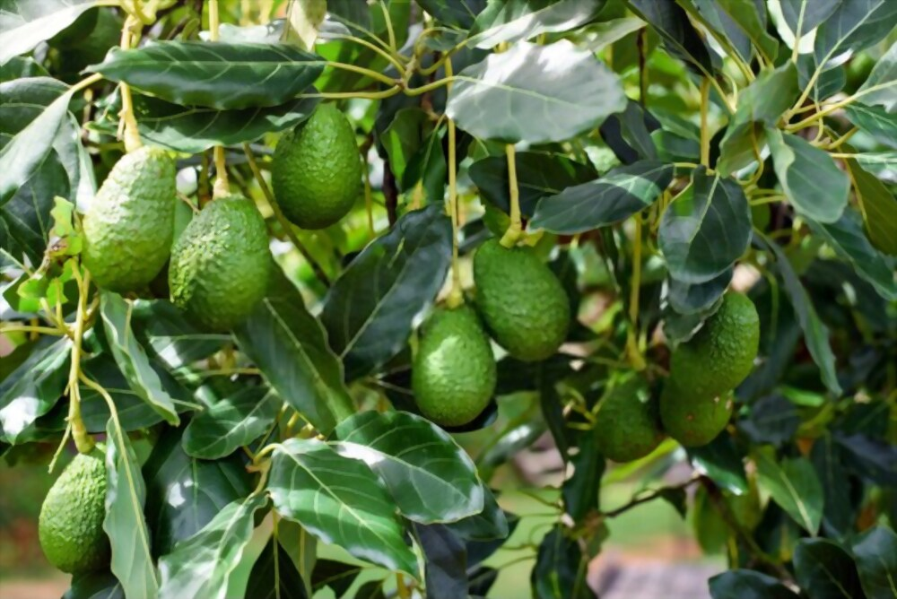 Still Doubting The Works Of Avocado? Read This!